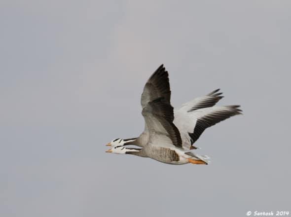 Synchronized flight , Bar-headed Goose