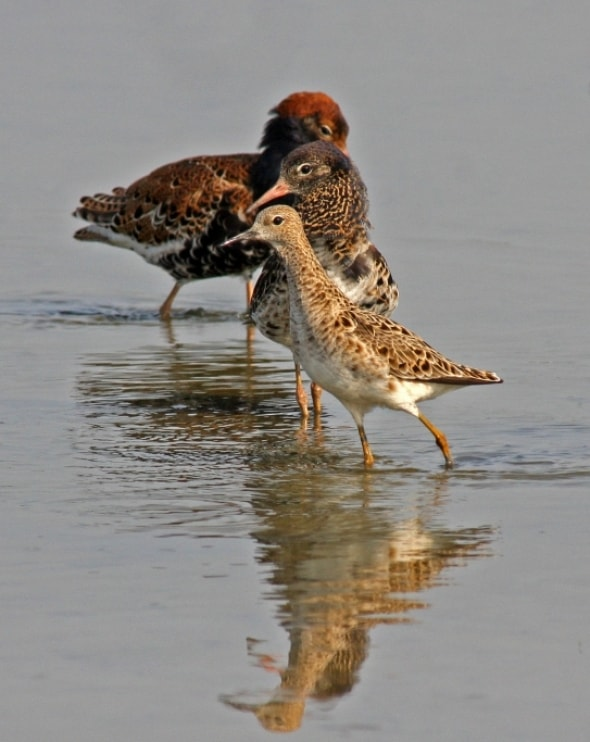 Dominant Ruff, female and jealous rival