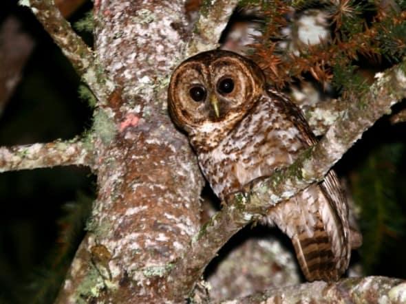 Rusty-barred Owl on Araucária tree