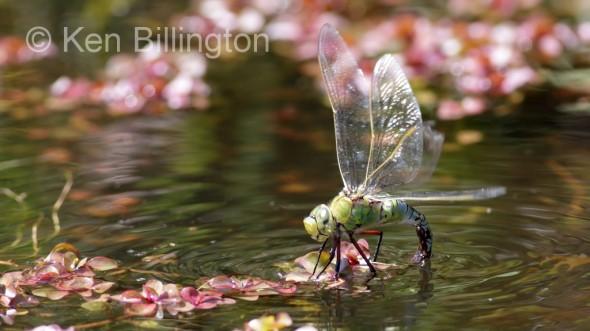 Emperor-Dragonfly-.jpg