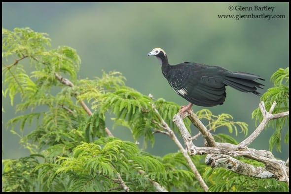 Common Piping-Guan (Pipile pipile)