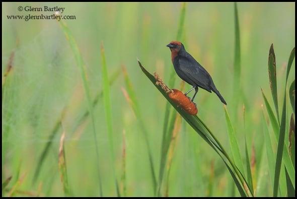 Chestnut-capped Blackbird (Chrysomus ruficapillus)