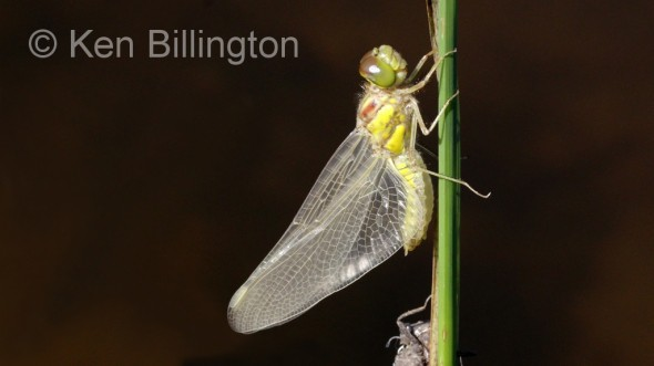 Emperor Dragonfly (Anax imperator) (13).jpg