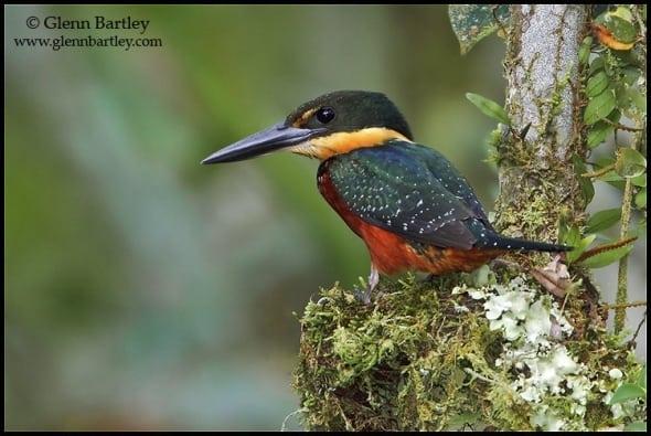 Green-and-Rufous Kingfisher (Chloroceyle inda)