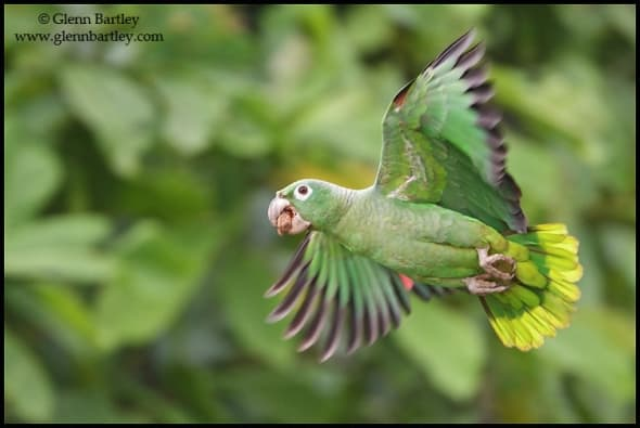 Mealy Amazon Parrot - 10.CR2