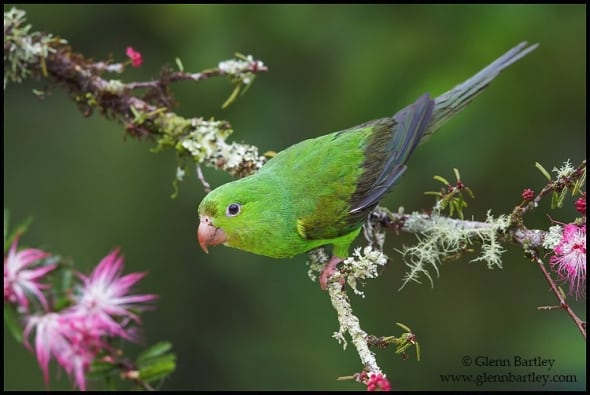 Plain Parakeet (Brotogeris tirica)