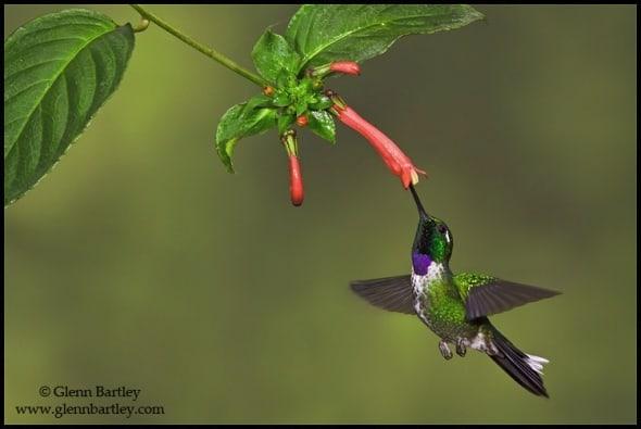 A Purple-bibbed Whitetip (Urosticte benjamini)