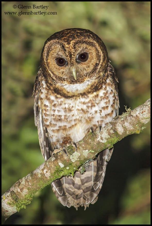 Rusty-barred Owl (Strix hylophila)