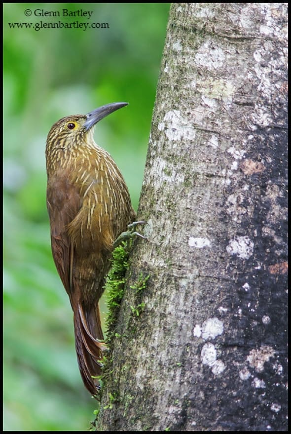 Strong-billed Woodcreeper (Xiphocolaptes promeropirhynchus)