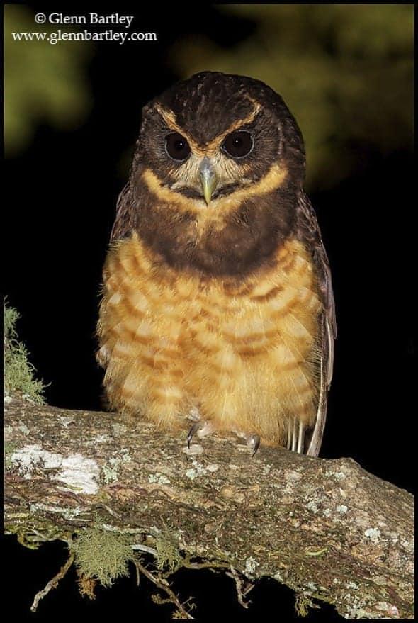 tawny_browed_owl_01