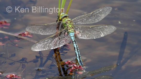 Emperor Dragonfly (Anax imperator) (17).jpg