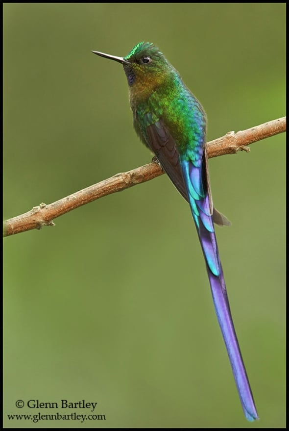 A male Violet-tailed Sylph (Aglaiocercus coelestis)