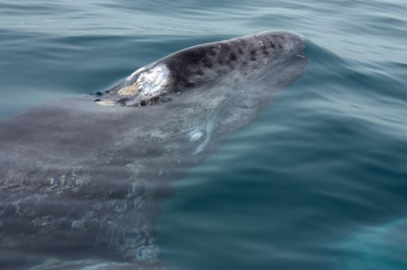 Young Gray Whale