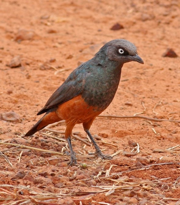 Chestnut-bellied Starling, L. pulcher