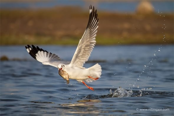 Fisher by Nitin Jain