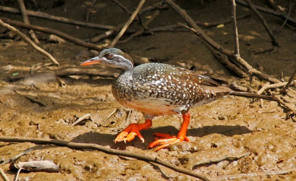 African Finfoot, Podica senegalensis