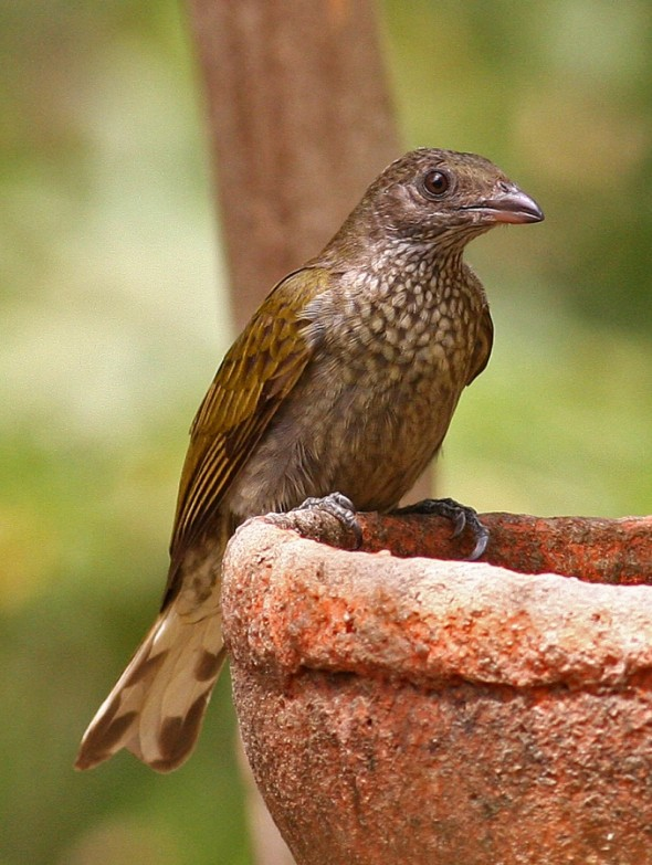 Spotted Honeyguide, Indicator maculatus