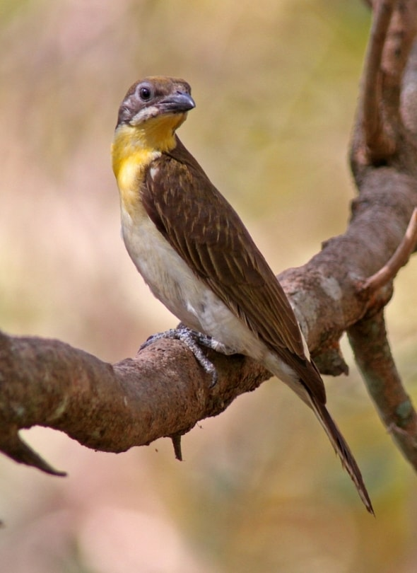 Greater Honeyguide, I. indicator, imm.