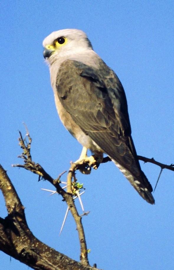 Dickinson's Kestrel, Falco Dickinsoni