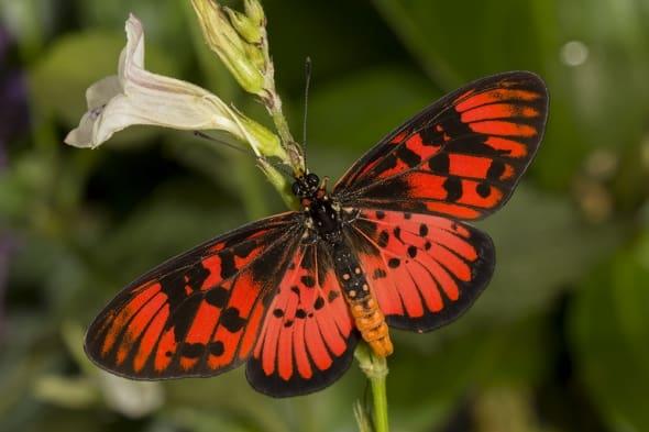 Freshly emerged Blood-red Acraea
