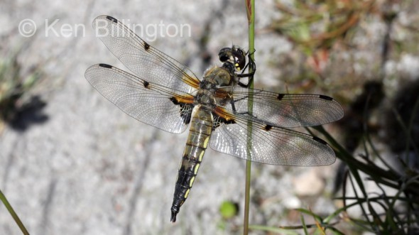 Four-spotted Chaser (Libellula quadrimaculata) (10).jpg
