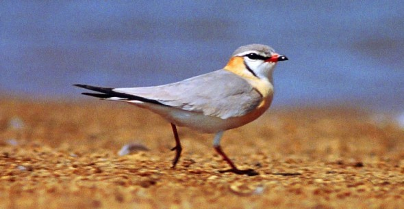 Grey Pratincole, Glareola cinerea