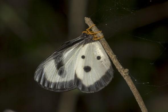 Large Glasswing female resting