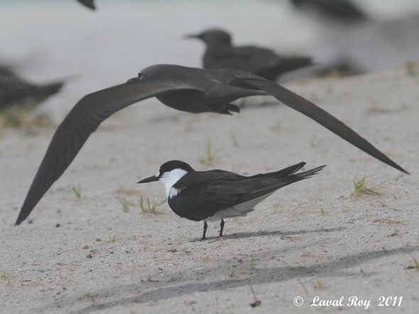 Under the arch: Sooty Tern