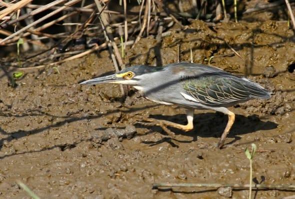 Striated Heron, Butorides striata