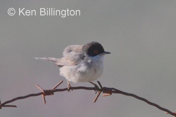 Orphean Warbler  / Sylvia hortensis