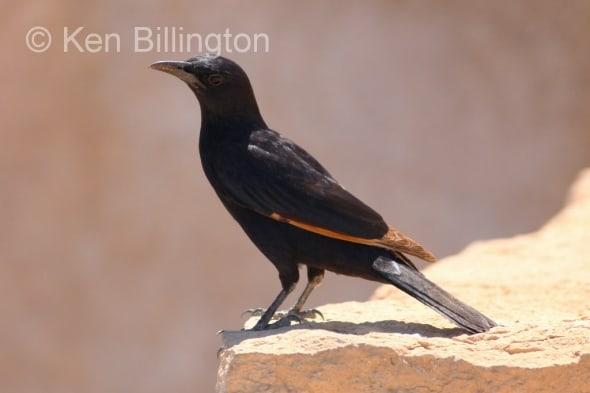 Tristrams Starling
