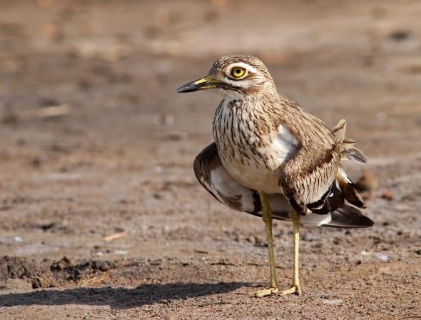Senegal Thick-knee, Burh. senegalensis