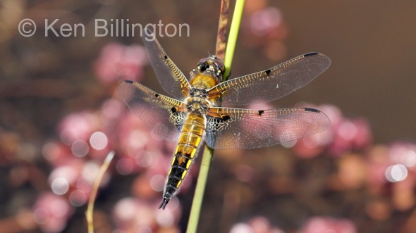 Four-spotted Chaser (Libellula quadrimaculata) (3).jpg