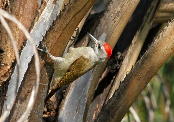 Grey Woodpecker, Dendropicis goertae