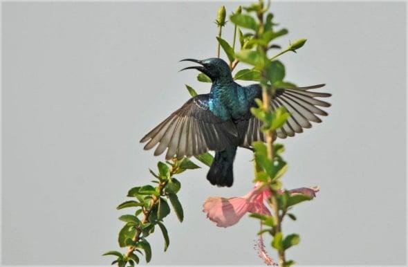 Male Purple Sunbird (Cinnyris asiaticus)