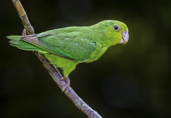 Blue-winged Parrotlet-Famale