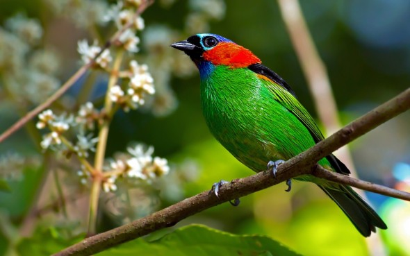 Red-necked Tanager-Tangara cyanocephala
