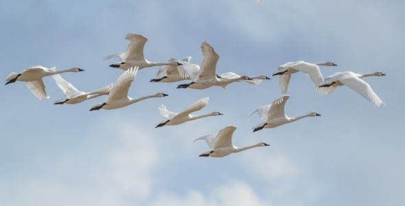 Tundra swan flight