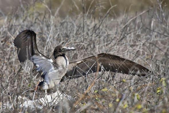 Waved Albatross Phoebastria irrorata CR