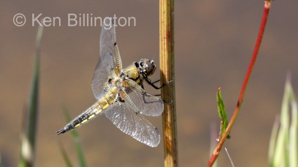 Four-spotted Chaser (Libellula quadrimaculata) (7).jpg