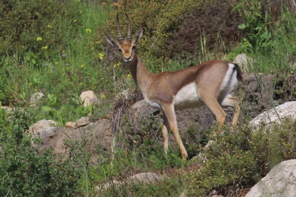 Dorcas gazelle (Gazella dorcas)