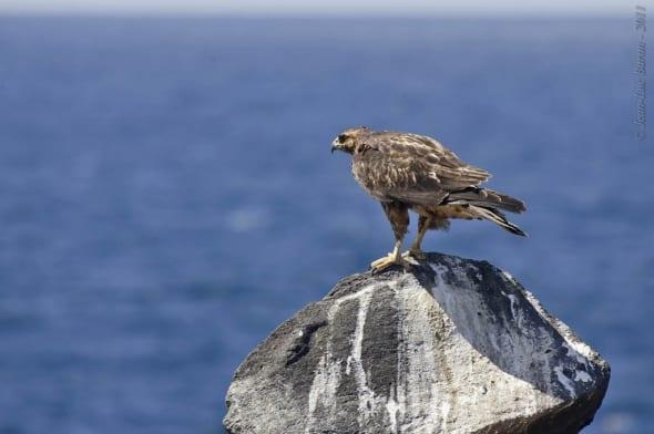 Galapagos Hawk Buteo galapagoensis VU