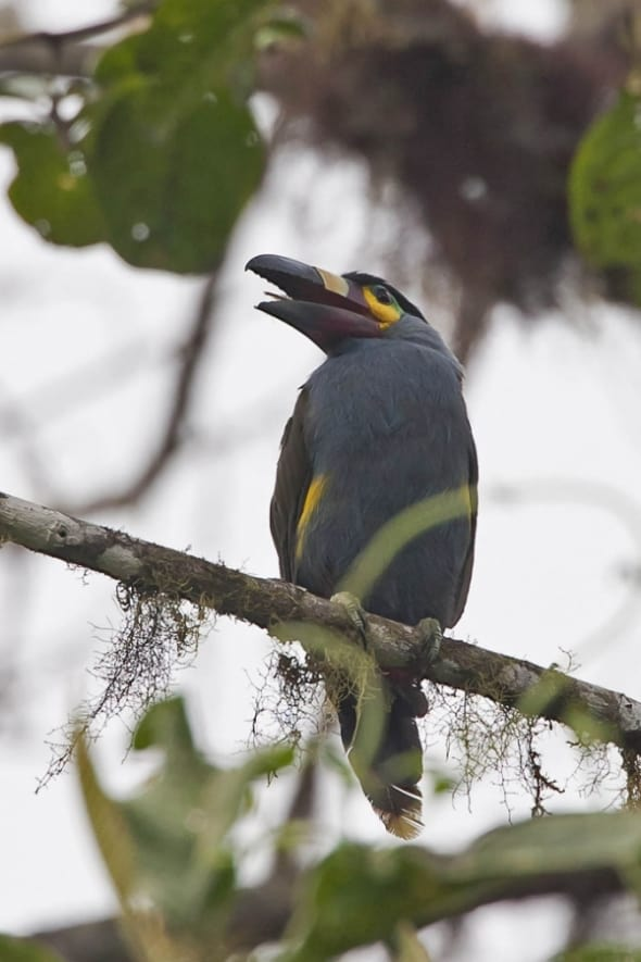 Plate-billed Mountain-toucan NT
