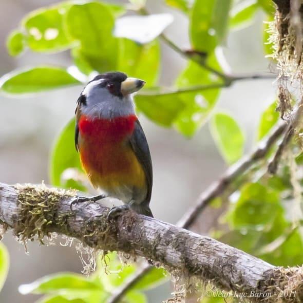 Toucan Barbet Semnornis ramphastinus NT