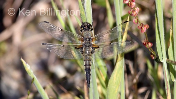 Four-spotted Chaser (Libellula quadrimaculata) (9).jpg
