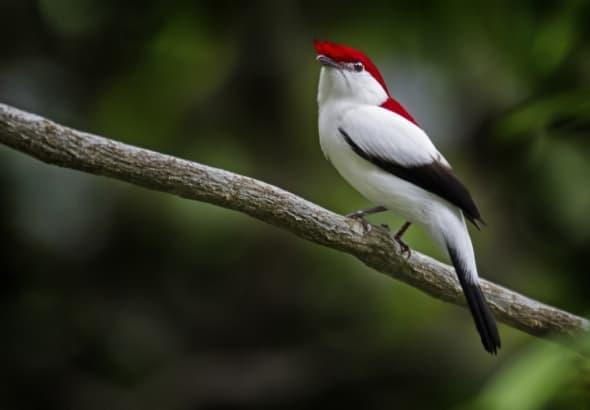 Araripe Manakin-Antilophia bokermanni