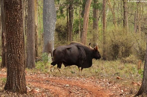 Indian Gaur-Hulk of Bhadra Reserve