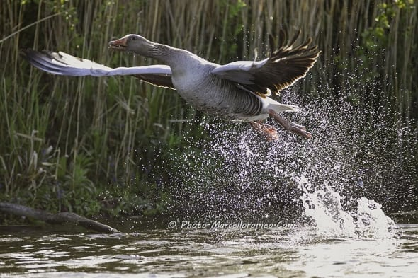 Greylag Goose starts to fly away...