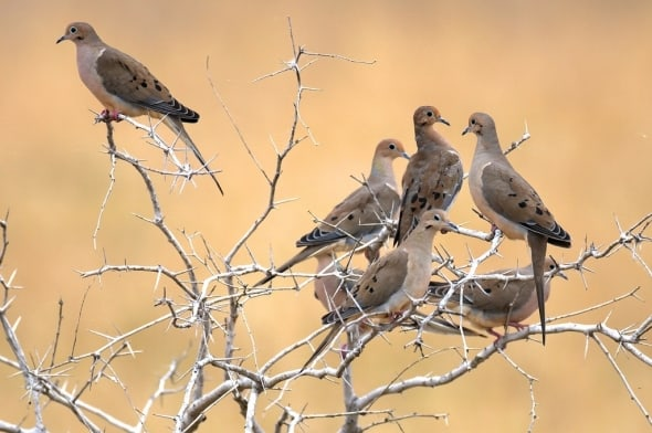 Brush Country Mourning Doves