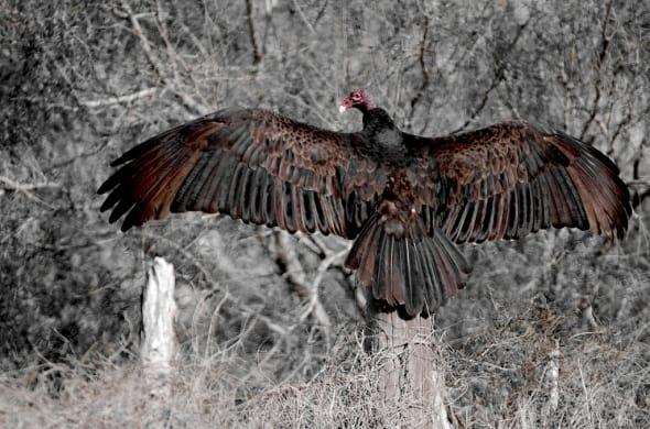 Turkey Vulture wing maintenance